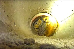squirrel stuck inside of a drain pipe